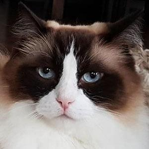 Timo the Ragdoll Cat facts