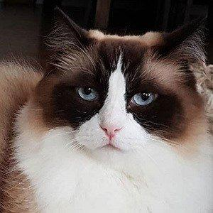 Toby Timo The Ragdoll Cat facts